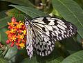 Butterfly 7s (5662449953).jpg