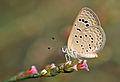 Butterfly Dark Grass Blue - Zizeeria karsandra.jpg