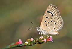 240px butterfly dark grass blue   zizeeria karsandra