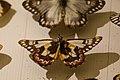 Butterfly specimen (24182182087).jpg