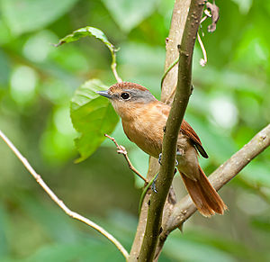 Becard - Chestnut-crowned becard