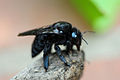 CARPENTER BEE 2.jpg