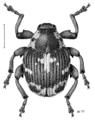 COLE Curculionidae Ceutorhynchus litura.png