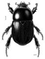 COLE Scarabaeidae Heteronychus arator 1.png