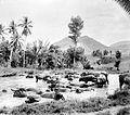COLLECTIE TROPENMUSEUM Badende karbouwen Batak-landen TMnr 10018432.jpg