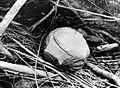 COLLECTIE TROPENMUSEUM Rafflesia Tuan-Mudae Becc. in bloemknop TMnr 10006204.jpg