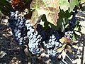 Cabernet grapes at Opus One, Napa Valley, California, USA.jpg