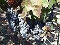 Cabernet grapes at Opus One, Napa Valley, California, USA.jpg