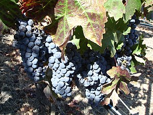 Cabernet Sauvignon grapes growing in the viney...
