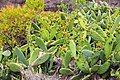 Cactus blooms on La Gomera, Spain (48293717011).jpg