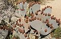 Cactus in Joshua Tree National Park (3432951603).jpg
