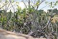Cacus plant on rocks 01.JPG