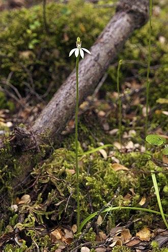 Caladenia - Image: Caladenia chlorostyla LC277
