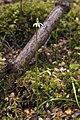 Caladenia chlorostyla LC277.jpg