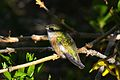 Calliope Hummingbird (8404304598).jpg