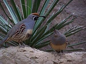 Gambel's quail - Image: Callipepla gambelii Indianapolis Zoo 8a