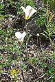 Calochortus nuttallii 3.jpg