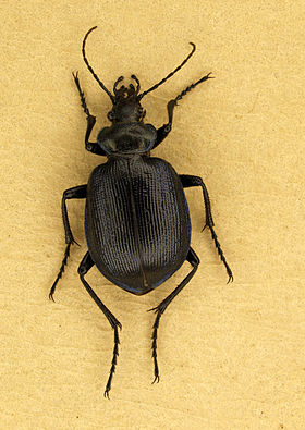 Calosoma inquisitor.JPG