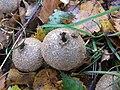 Calvatia excipuliformis, from the Puffball family. - geograph.org.uk - 274756.jpg