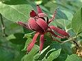 Calycanthus floridus kz01.jpg