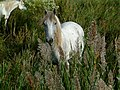 Camargue-Pferd.jpg