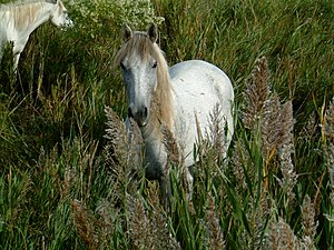 Camargue horse - A Camargue horse in the marshes of the region.