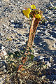 Camissonia brevipes monstrosa 2.jpg