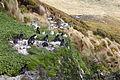Campbell Shags, Campbell Island, New Zealand.jpg