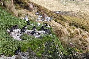 Campbell Shags, Campbell Island, New Zealand.jpg