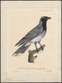 Campephaga papuensis - 1825-1834 - Print - Iconographia Zoologica - Special Collections University of Amsterdam - UBA01 IZ16500373.tif