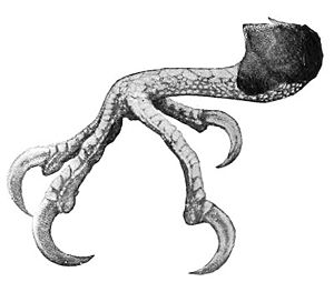 Ivory-billed woodpecker - Illustration of left foot, showing zygodactyly typical of woodpeckers