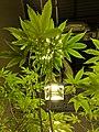 Cannabis plant below a grow light.jpg