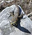 Cape Girdled Lizard - Cordylus cordylus - Cape Town 3.jpg