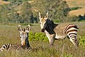 Cape Mountain Zebras (Equus zebra zebra) mare and foal ... (32854905155).jpg