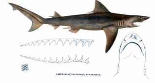 Ganges shark species of fish