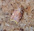 Carcina quercana. Tortricidae - Flickr - gailhampshire.jpg