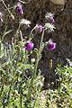 Carduus nutans carriere-saint-maximin 60 01072008 04.jpg