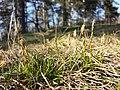 Carex humilis sl27.jpg