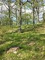 Carex praecox sl35.jpg