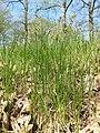 Carex praecox sl37.jpg