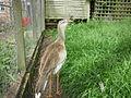 Cariama cristata -Hamerton Zoo, Cambridgeshire, England-8a.jpg