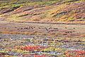 Caribou Migration (18689433456).jpg