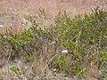 Carici arenariae-Empetretum nigri.jpg