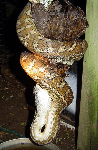Ficheiro:Carpet snake.jpg