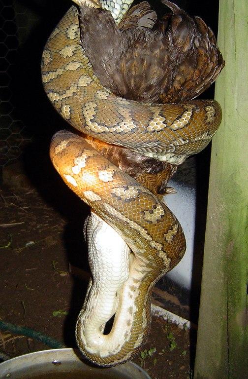 Carpet snake.jpg