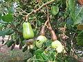 Cashew Nut Tree - കശുമാവ് 07.JPG