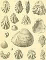 Catalogue des invertébrés fossiles de l'Égypte - représentés dans les collections du Museée de géologie au Caire (1917) (20389374790).jpg