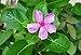 Catharanthus roseus24 08 2012 (2).JPG