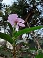 Catharanthus roseus 5.jpg