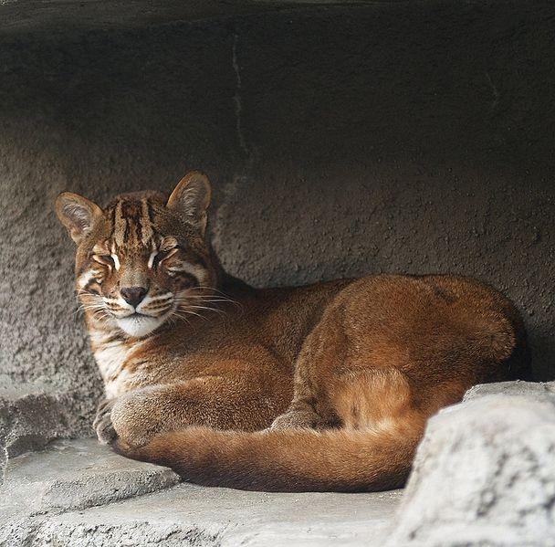 亚洲金猫_金猫分布在亚洲东部和南部的广大地区,包括华南,西藏以及尼泊尔,印度